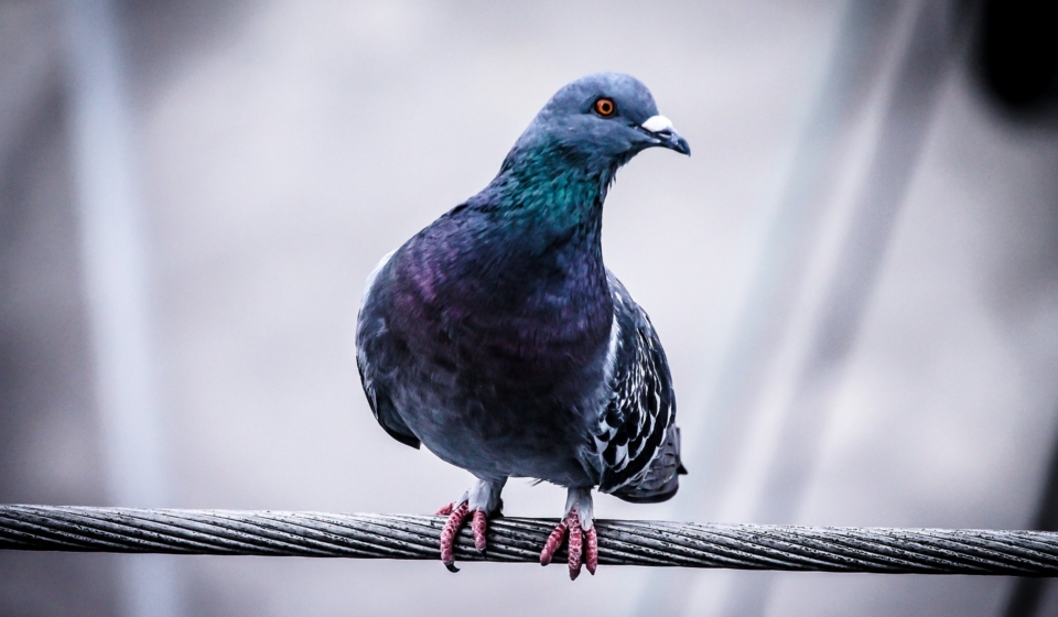 pigeon-918848_1920
